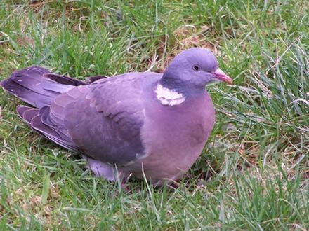 Pigeony.jpg